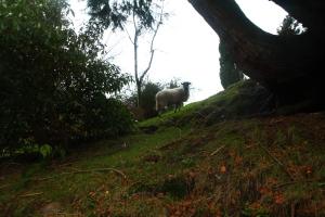 Our sheep friend at Glendalough.