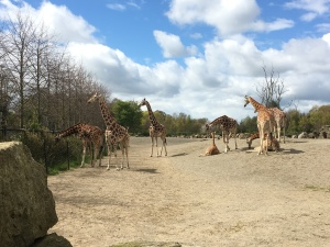 I couldn't get close enough to the elephants for a good picture, so here are some giraffes.